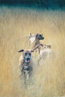 Ridgebacks in the field